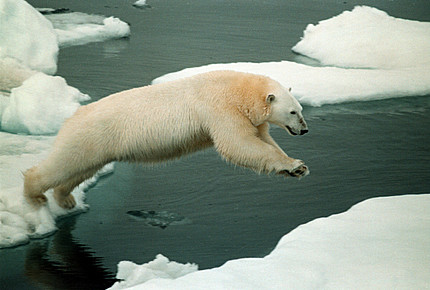 Polar-bear-in-arctic